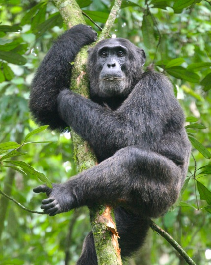 Kibale_Forest_Chimpanzee