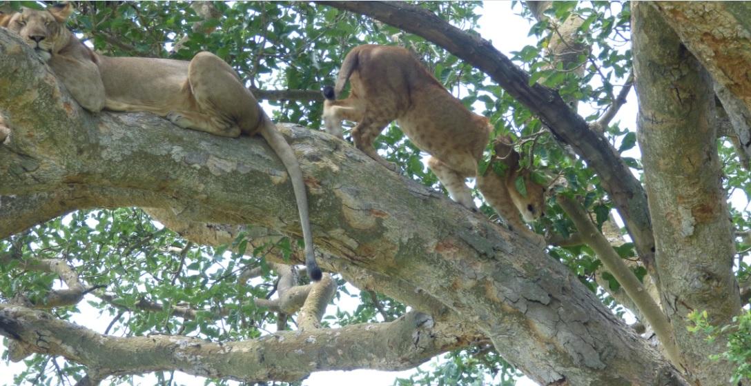 Ishasha_Tree_Climbing_Lions