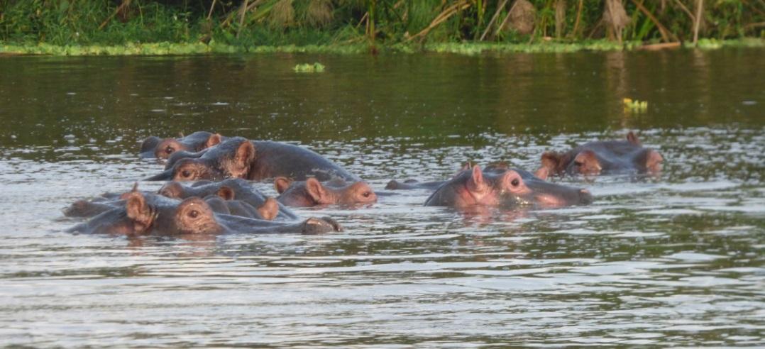 Murchison_Falls_Hippos