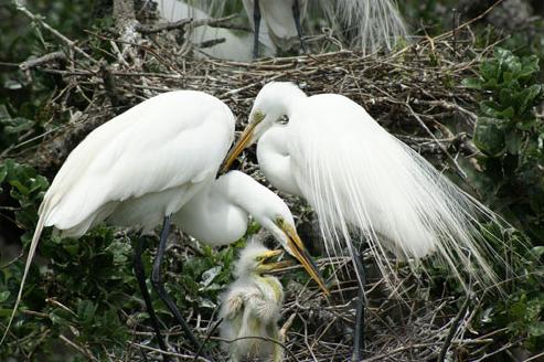 white egret 2.png