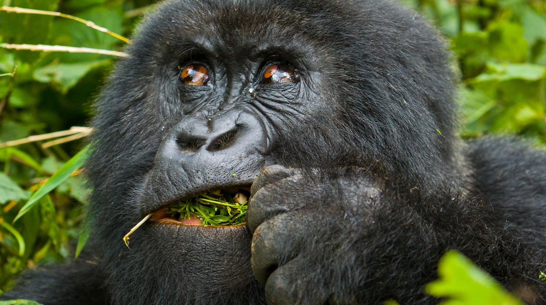 gorillas 34.jpg