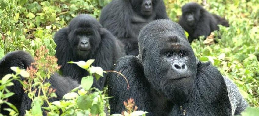 gorillas in uganda.jpg