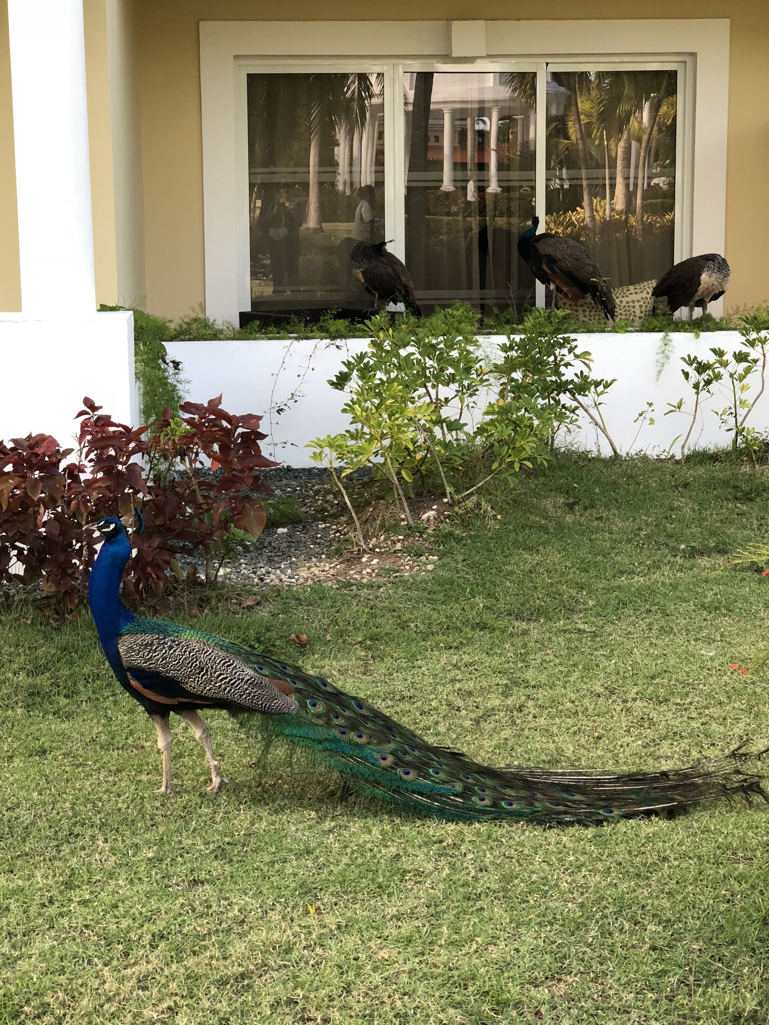 Lots of local Peacocks to see.