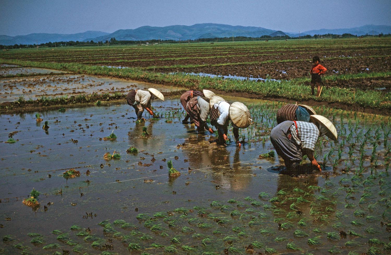 61- Women Planting Rice