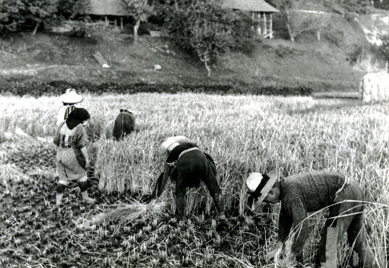 65- Rice Harvest Kazuma