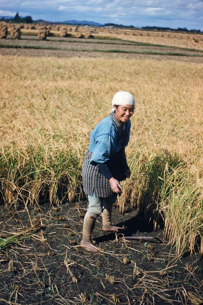 67- Rice Harvest