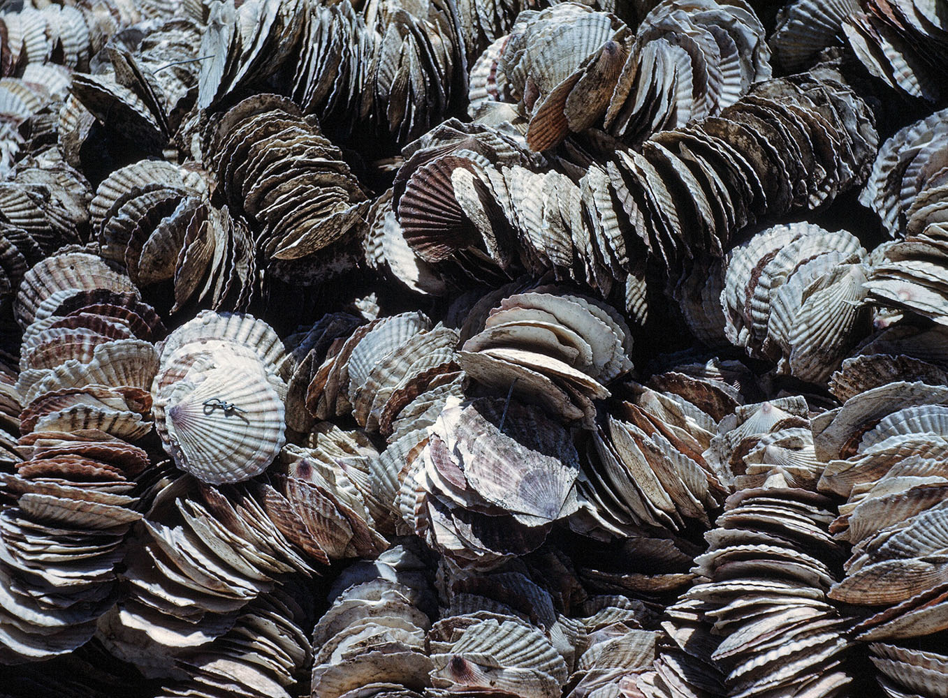 137- Strings of Shells