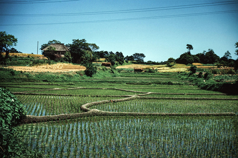 476- Rice Fields