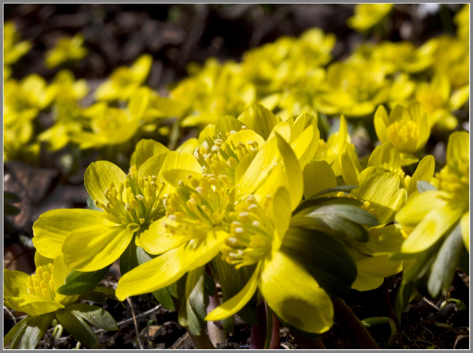 Ranunculus5481jpgs.jpg
