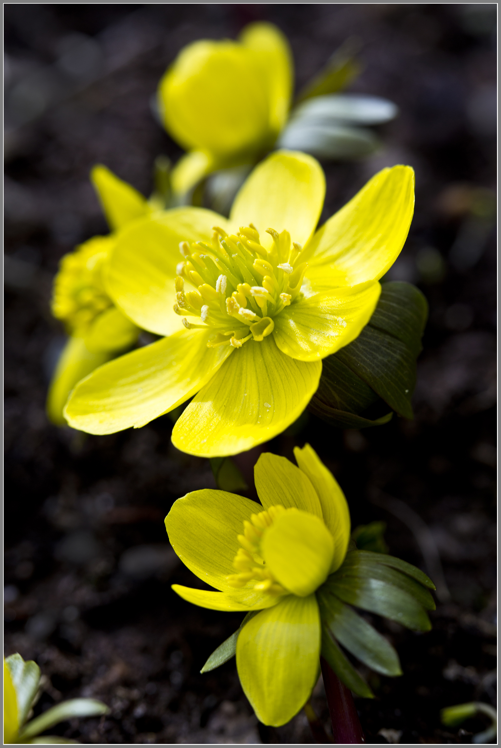 Ranunculus5518jpgs.jpg