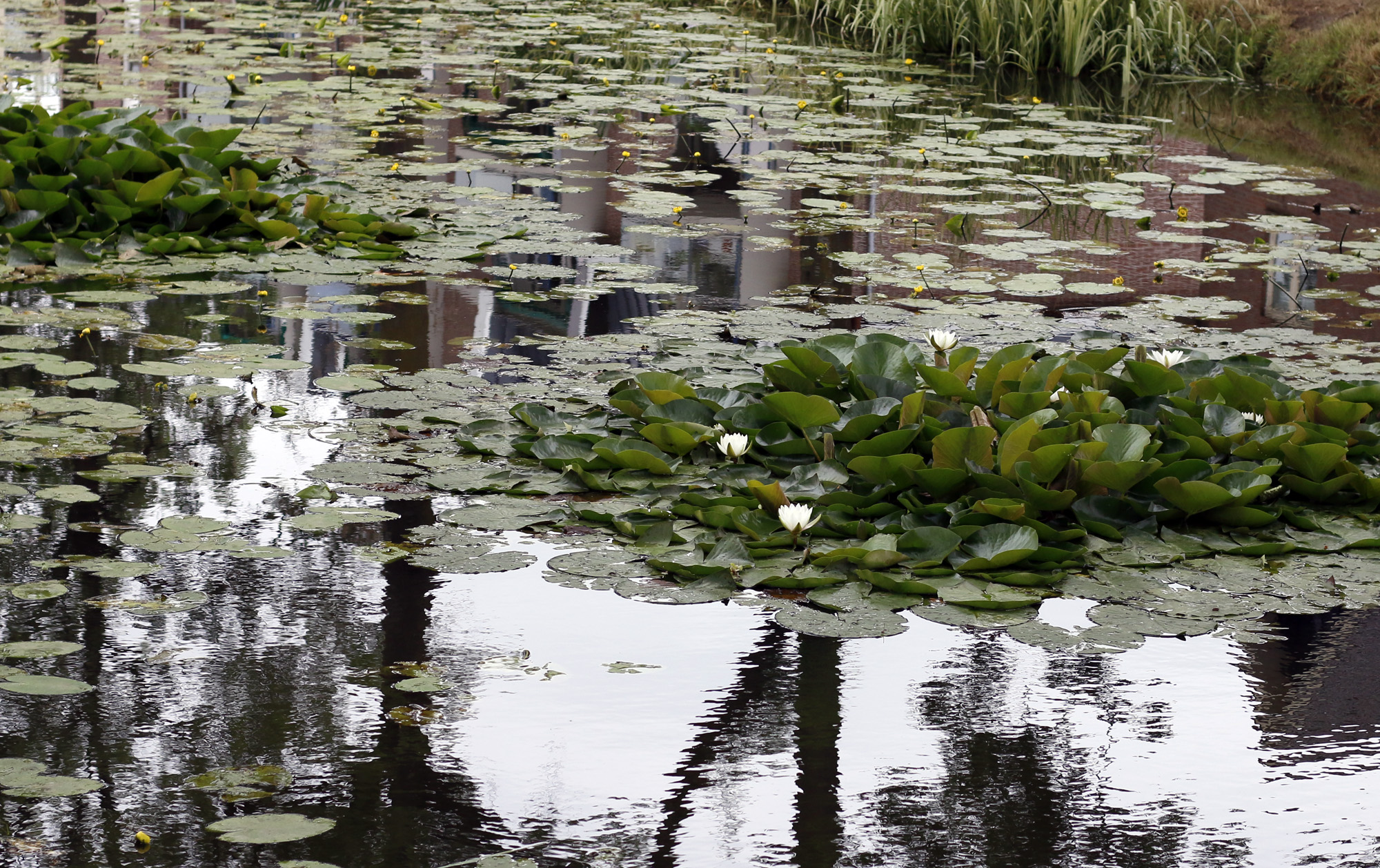 Water lilies. Stitched in Color.jpg