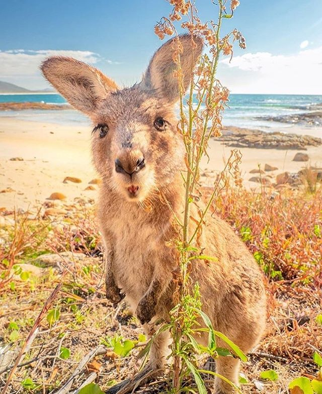 What's the funniest encounter with wildlife you've had on your travels? 🦘🌿🐊🦈🕷 - - - 📷 @_markfitz ・・・ Hanging out with the adorable locals at Diamond Head camp ground is a must do when you're on the @BarringtonCoast, they love hopping around the tents and caravans and don't mind a photo or 2 on the beach either! 🤣 #barringtoncoast . . #seeaustralia #sealrocks #newsouthwales #nsw #olympusinspired #wotif #getlostnow #aussienewstoday #australiagram #beautifuldestinations #exploringaustralia #seekinteresting #earthcapture #uniladadventure #ig_australia #watchthisinstagood #earthcapture #sandisk #openmyworld #escapesnaps #beachesnresorts #LiveIntrepid #creativelive #beboundless #thisistravel #tlpicks #markfitz