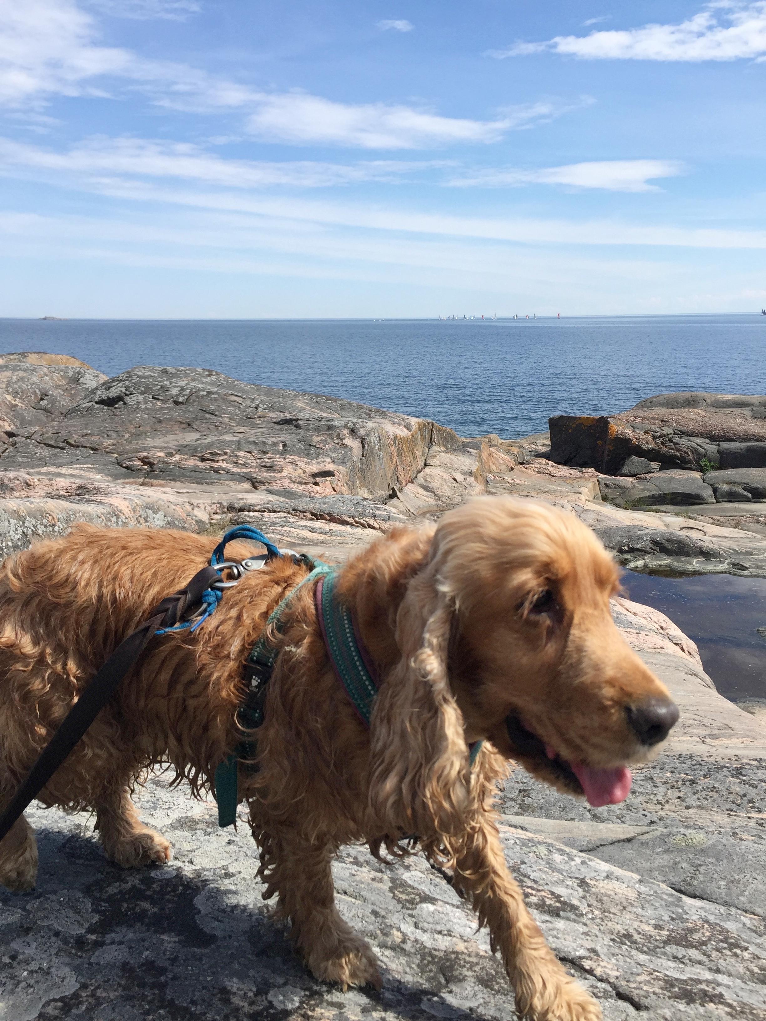 Koiramme Luna nautti uimisesta aurinkoisena päivänä mutta Isosaaren eteläranta ei rattaille sovellu.
