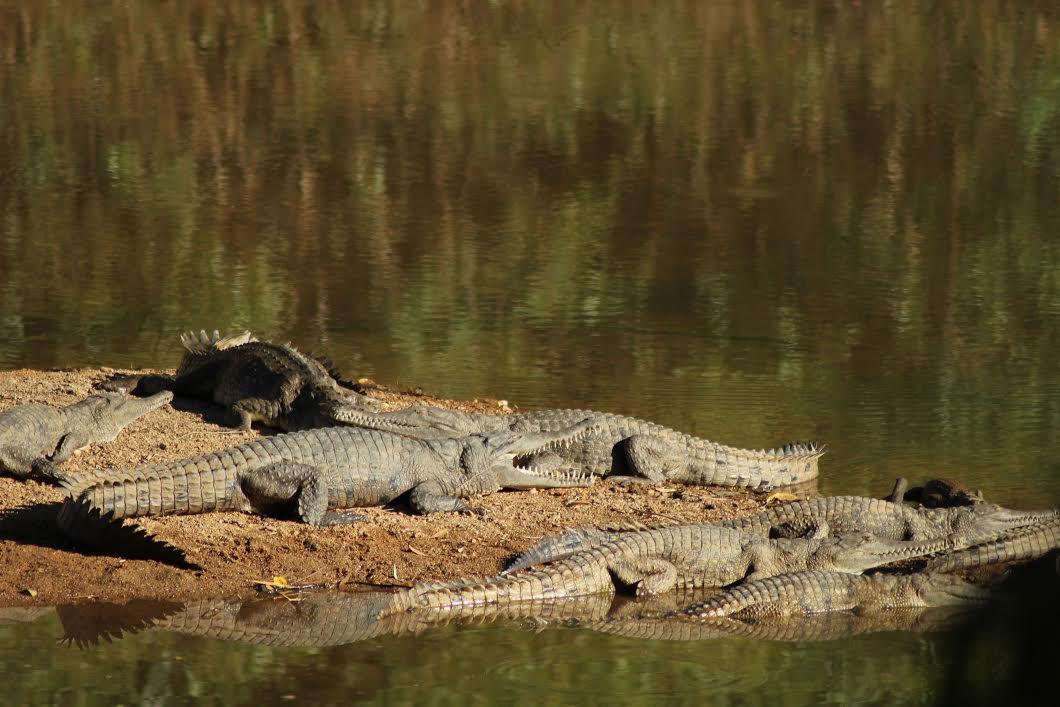 Freshwater crocs basking at Windjana