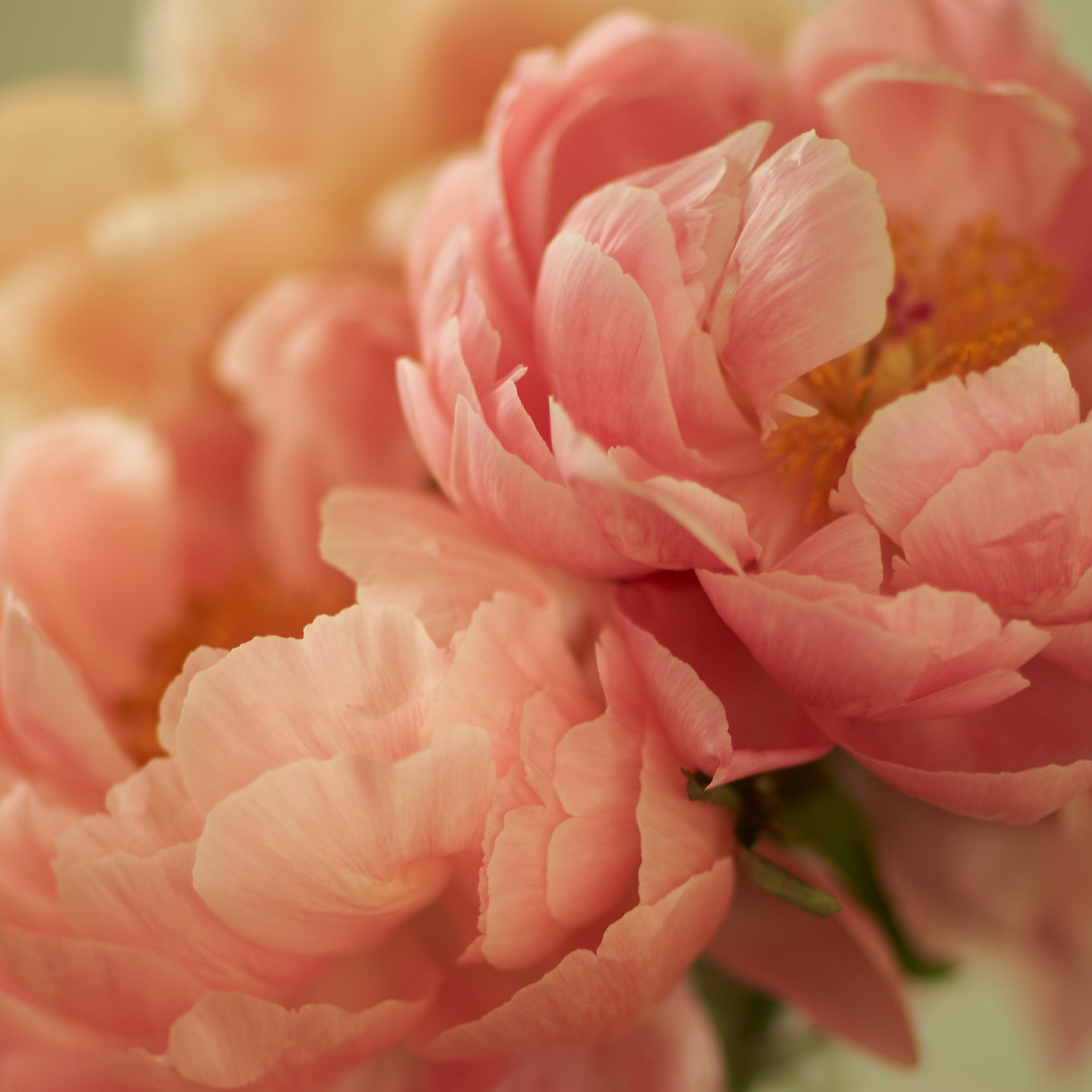 PEONIES V limited edition