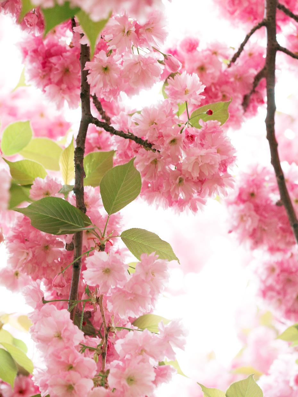 050108_CherryBlossoms_033f_WEB.jpg
