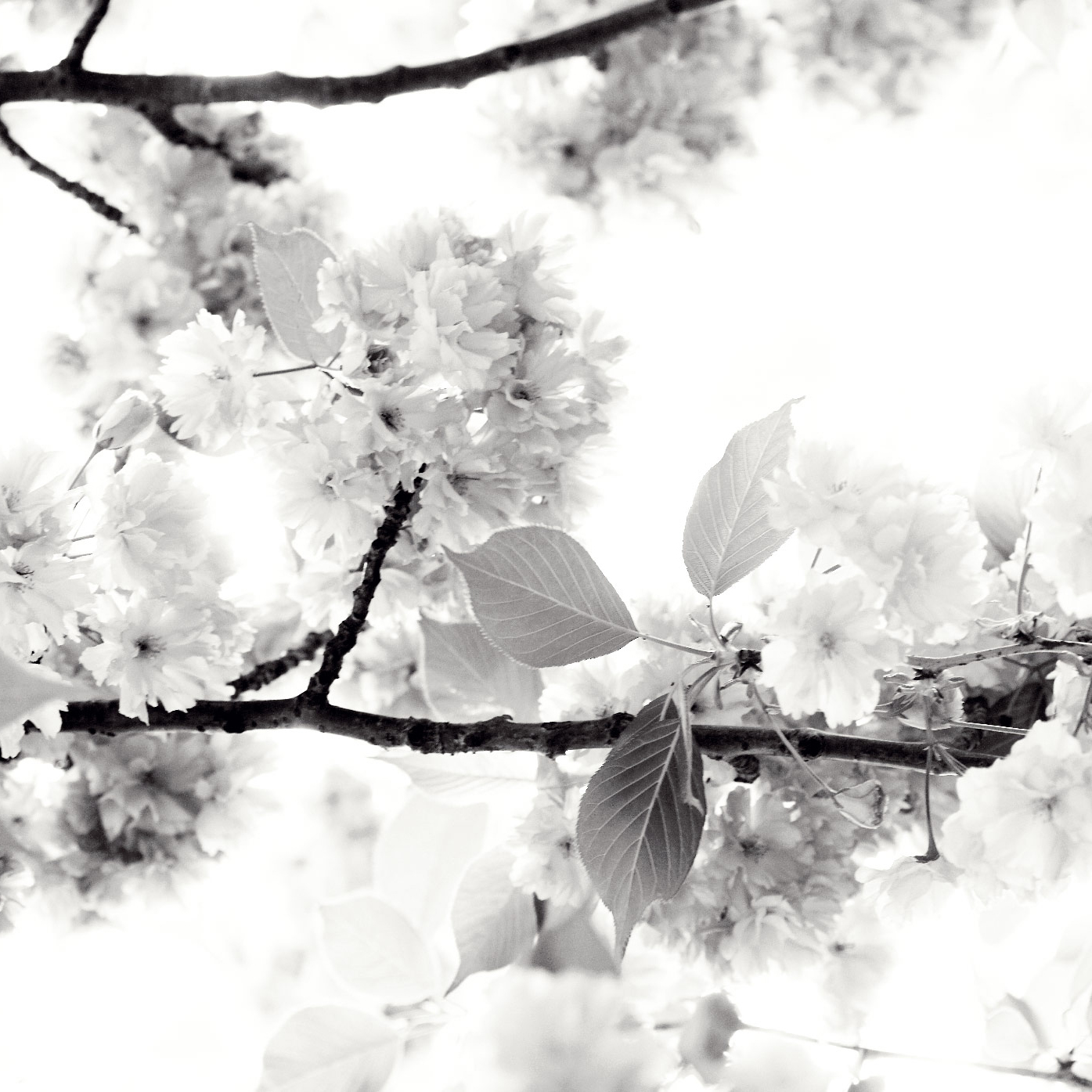 cherry blossoms Vi
