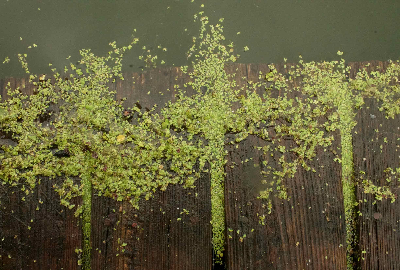 duck-weed-dock.jpg