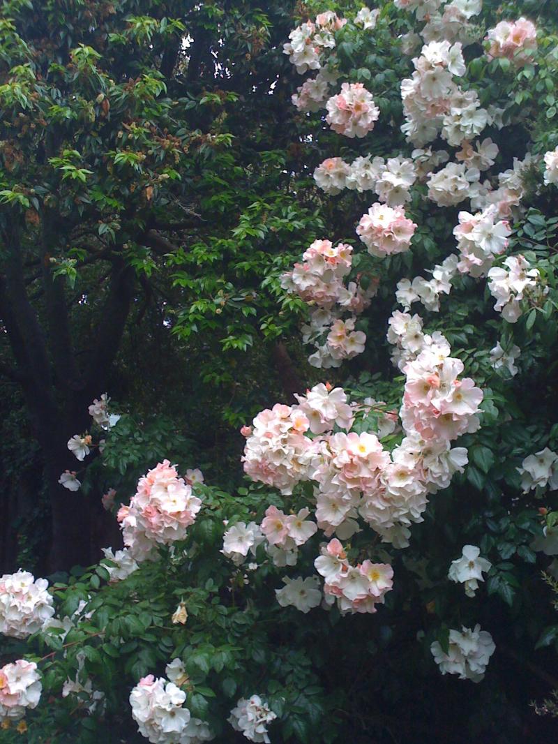 Descanso Gardens, La Canada, California.