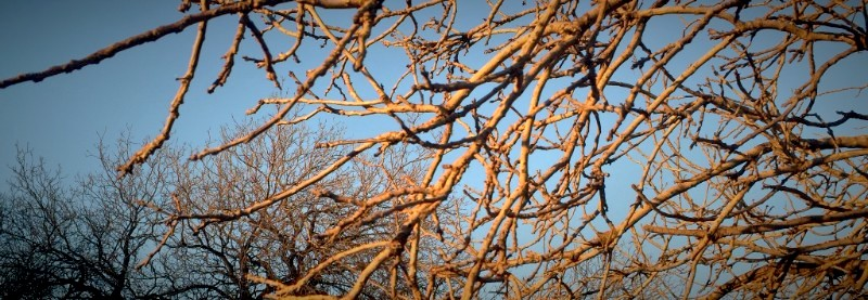 Bare locus branches, winter, Los Angeles