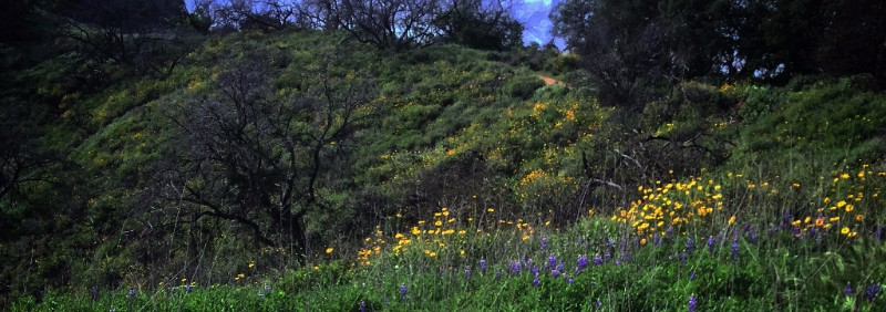 Wildflowers, Fryman Canyon, Los Angeles