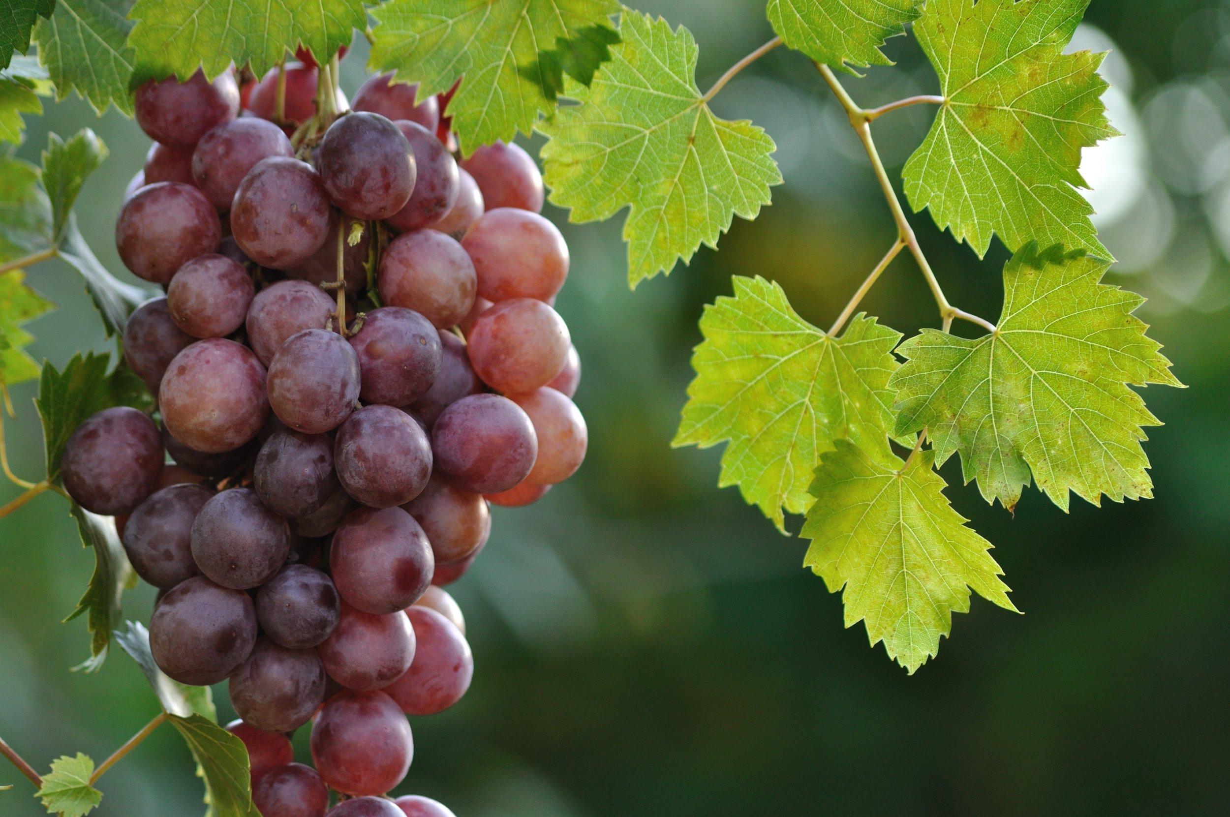purple table grapes shutterstock_76220461.jpg