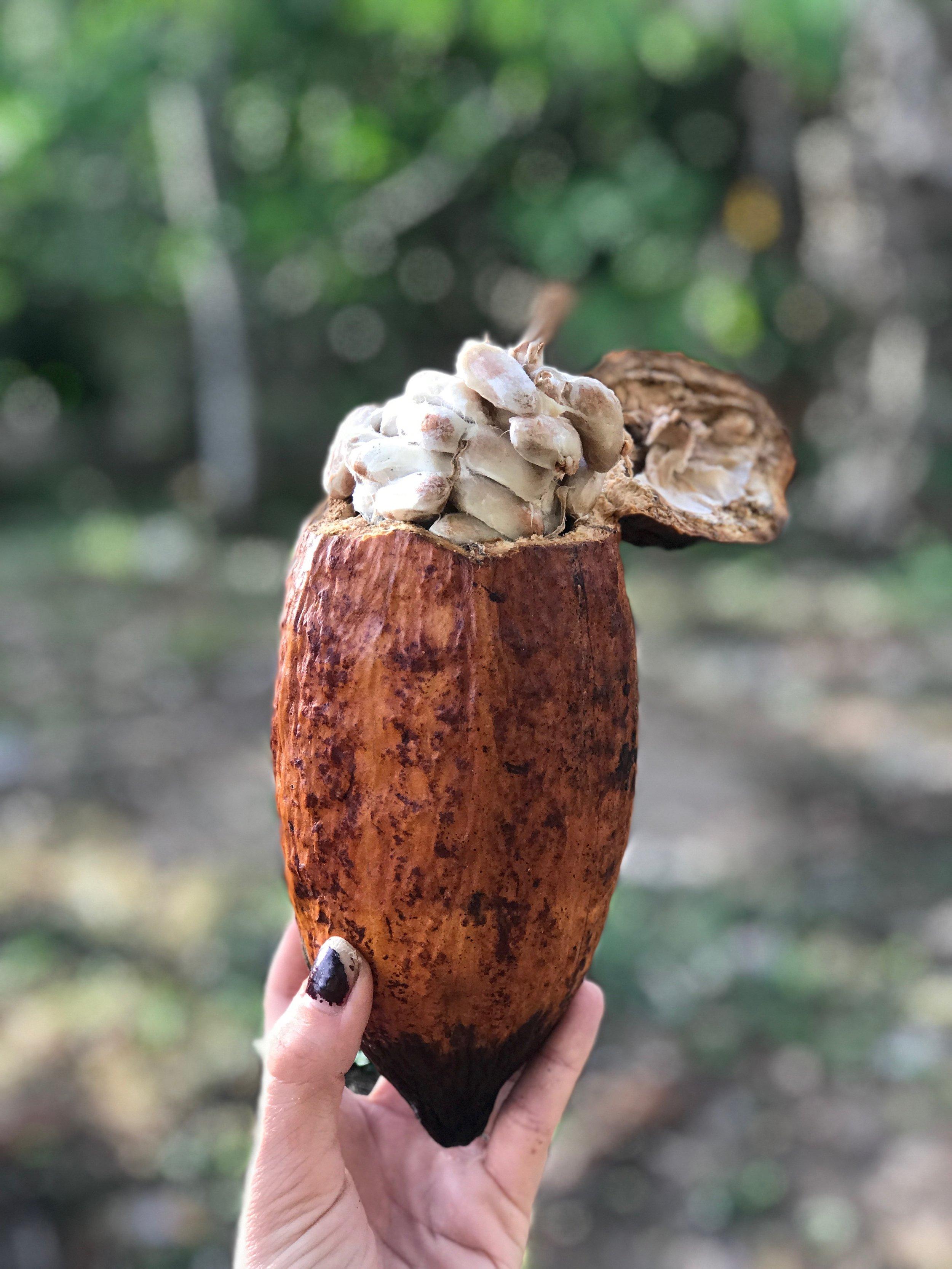 farm cacao.JPG