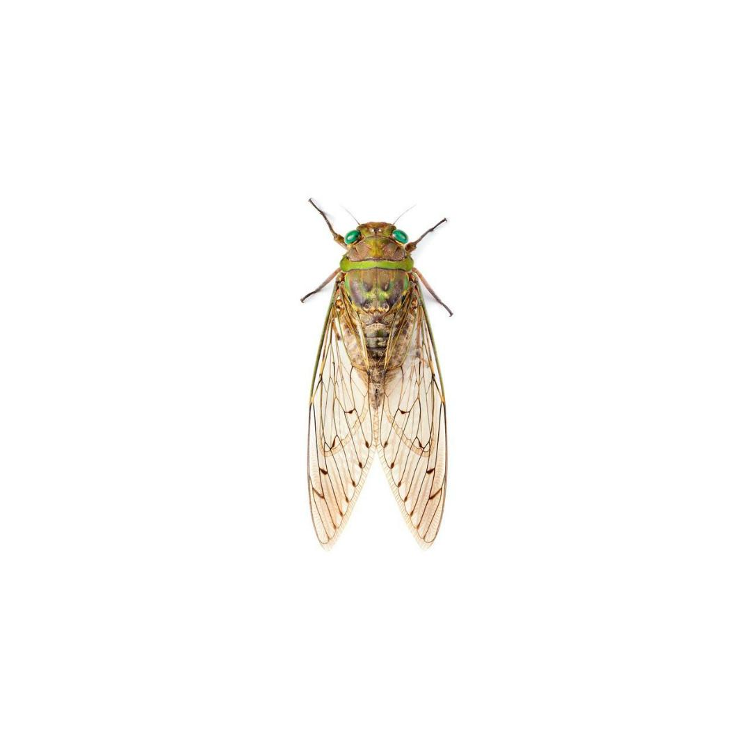 tiny cicada.jpg