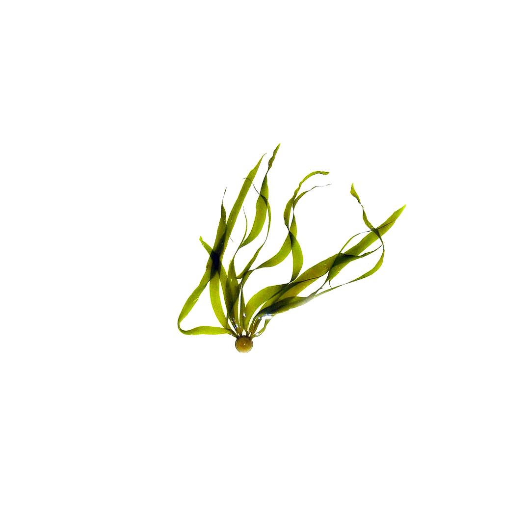 Tiny Kelp.jpg