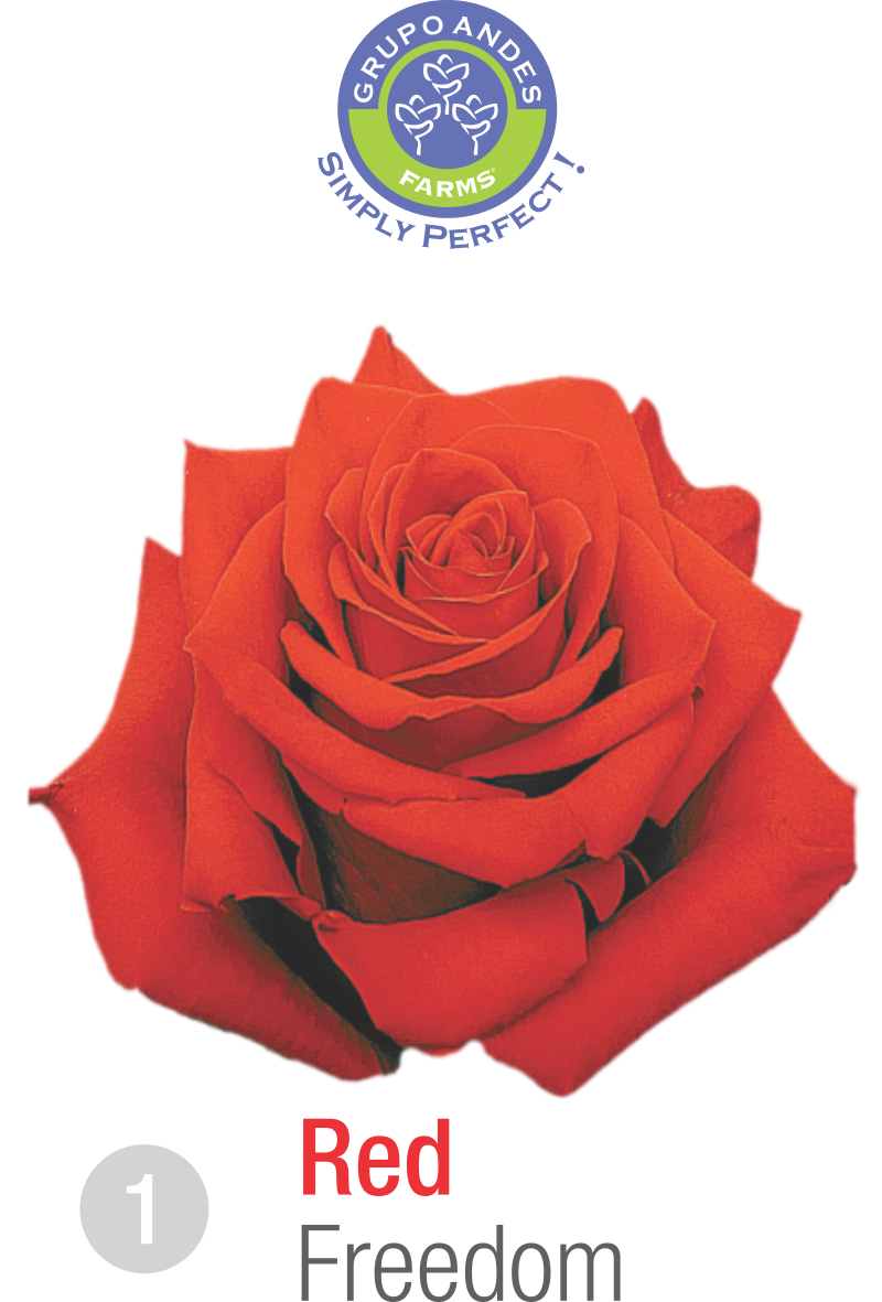 1 - Rosa Variedad Freedom Grupo Andes Farms.png