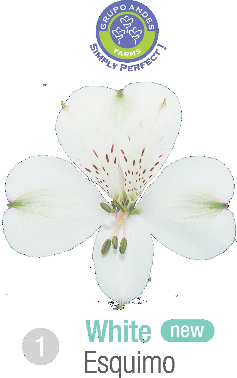 1 - Alstroemeria Variedad Esquimo Grupo Andes Farms.png