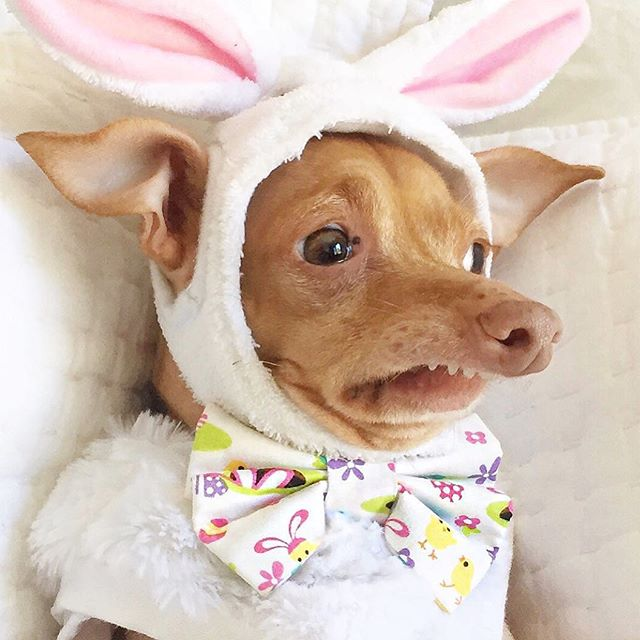 "Tuna always makes our day. 🤣🤣 . .  Repost by @tunameltsmyheart: ""He's too much. Honestly I don't know what to do with him. Makes me LOL. Hope these photos make you LOL too, and bring you a lot of joy today! Happy Easter! Also, check out his stories. They too made me LOL."""