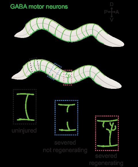 regenerating axons