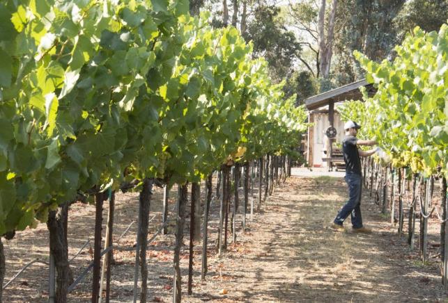 Raeburn Vineyards, Russian River Valley, California