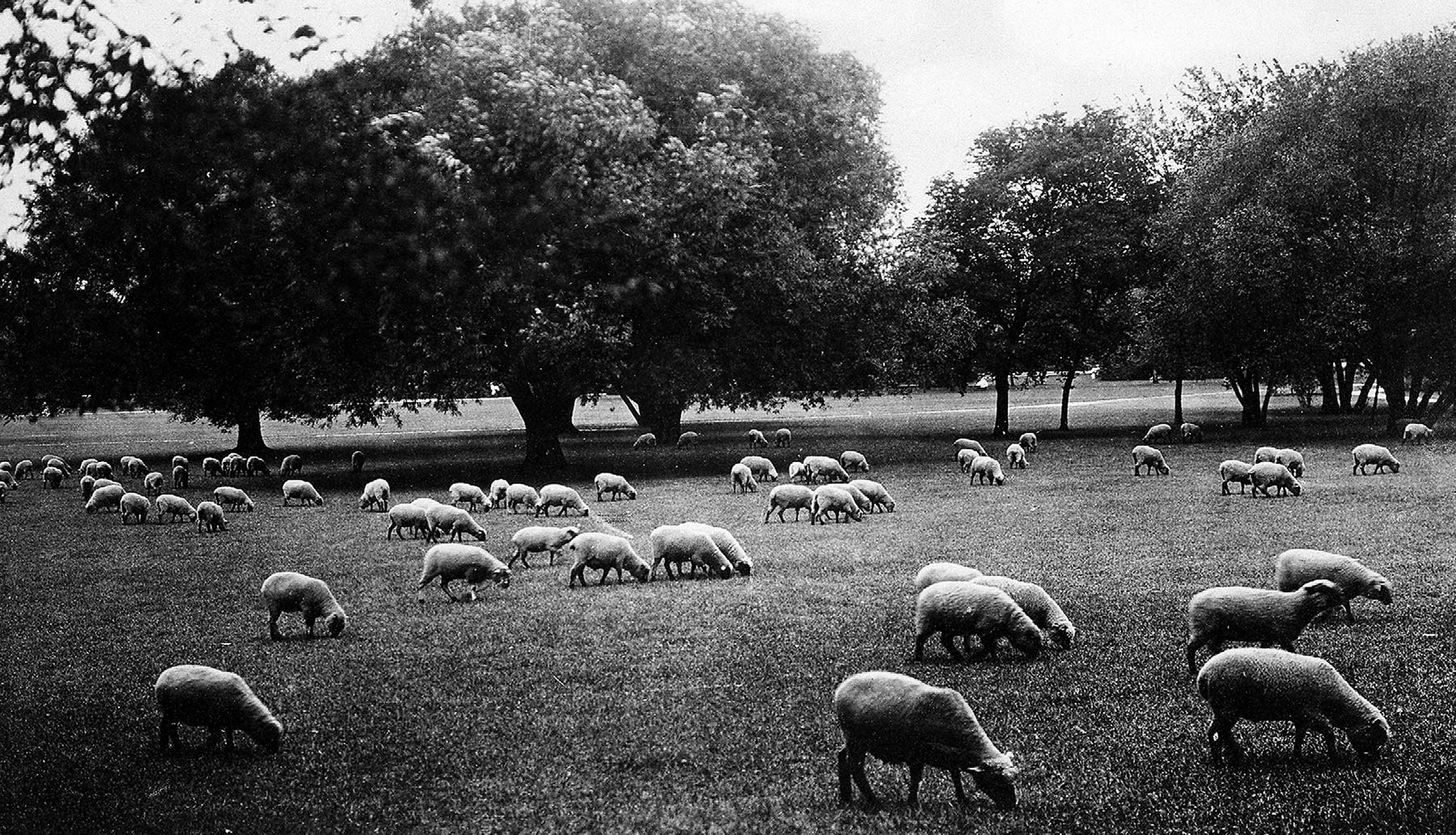 Sheep in Washington Park's meadow, ca. 1910.  Chicago Public Library Special Collections, Chicago Park District Archives, Photos.