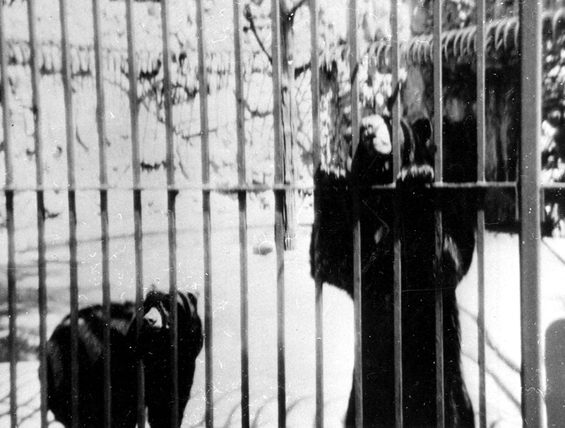 Black bears at Indian Boundary Park Zoo, ca. 1935. Courtesy of Rogers Park West Ridge Historical Society, R002-0103.
