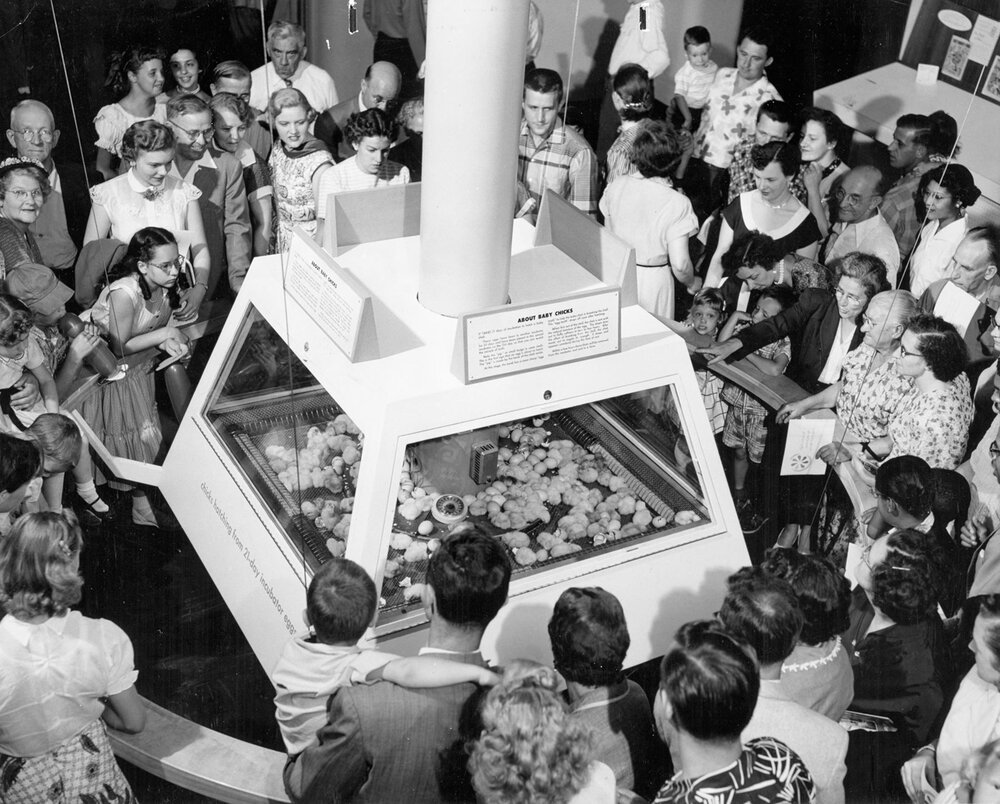 The Museum of Science and Industry's baby chicks exhibit was a popular attraction from the mid-1950s to the late 1990s, when it was moved to Lincoln Park's Farm in the Zoo, ca. 1970. Chicago Park District Records: Special Collections, Chicago Public Library, Photograph 046_024_001.