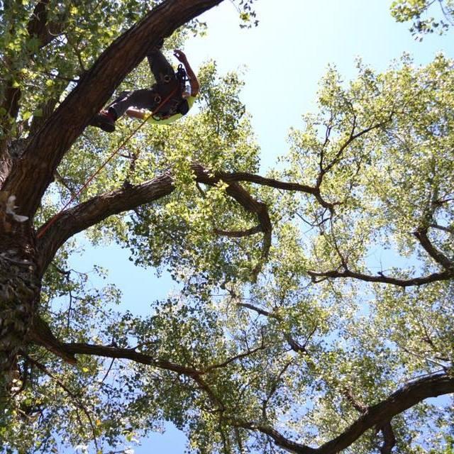 Cottonwood - Kansas state tree.
