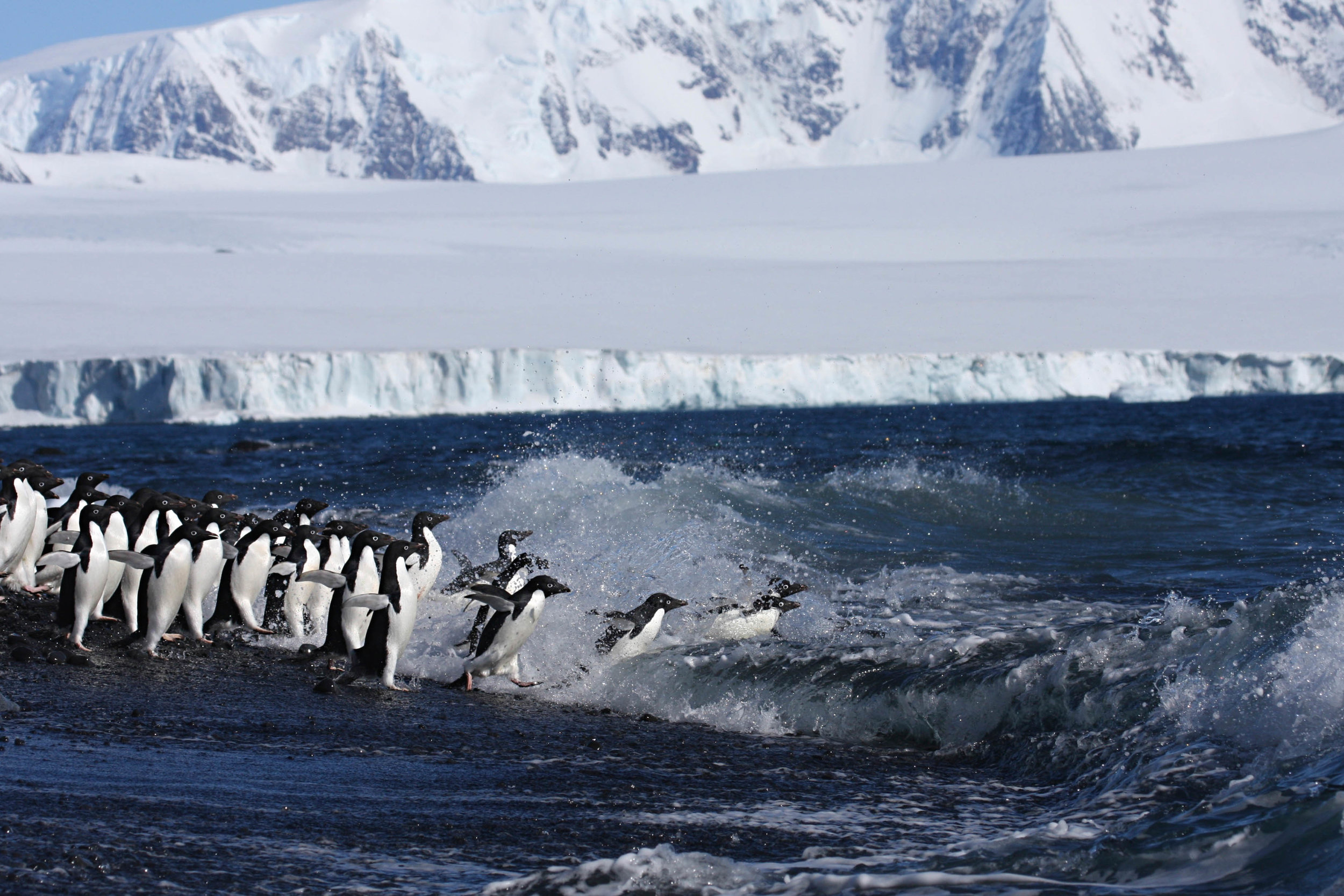 Adelie penguins off to feed in the Weddell Sea