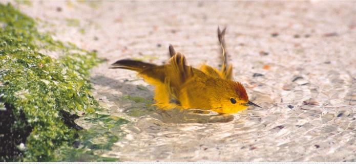 Yellow Warbler bathing, by Daniel Fitter