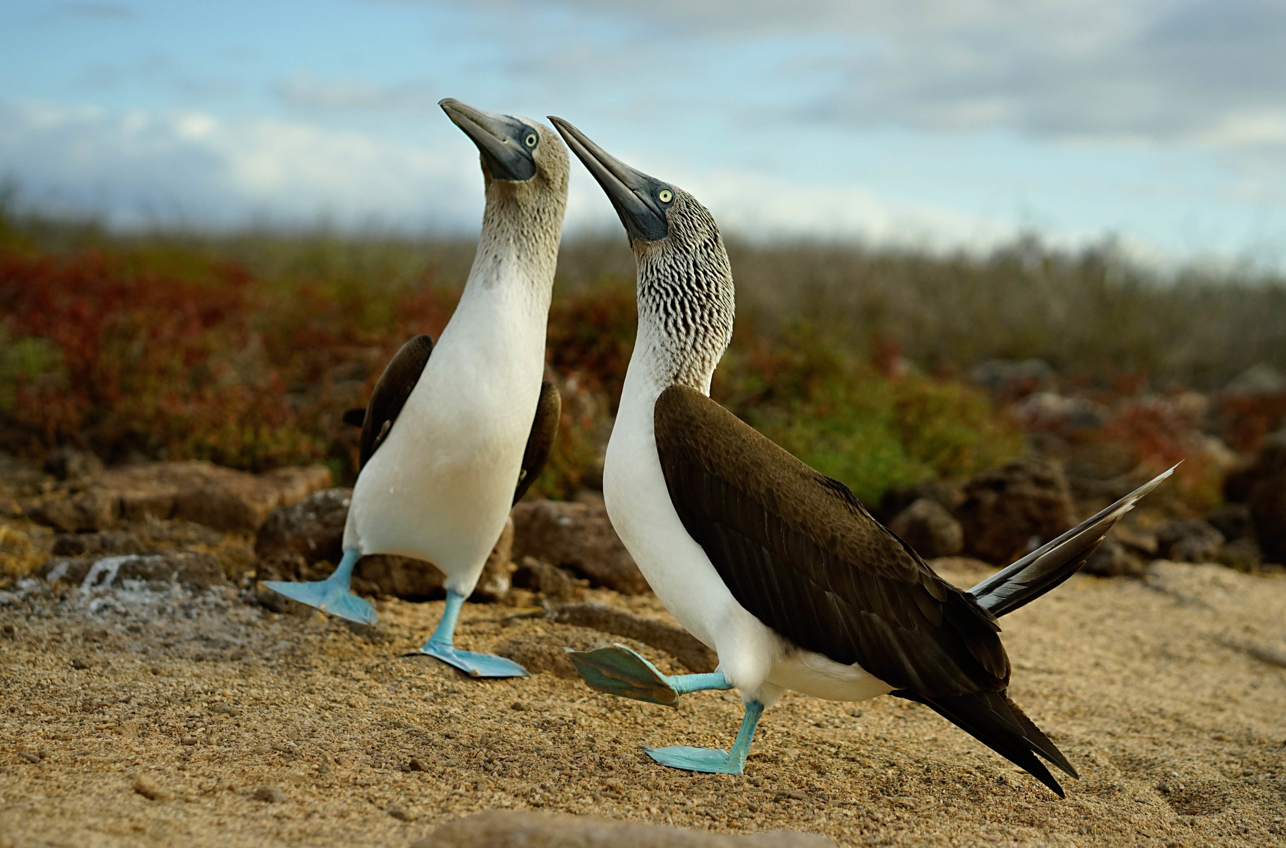blue-footed boobies, by Mark Grantham