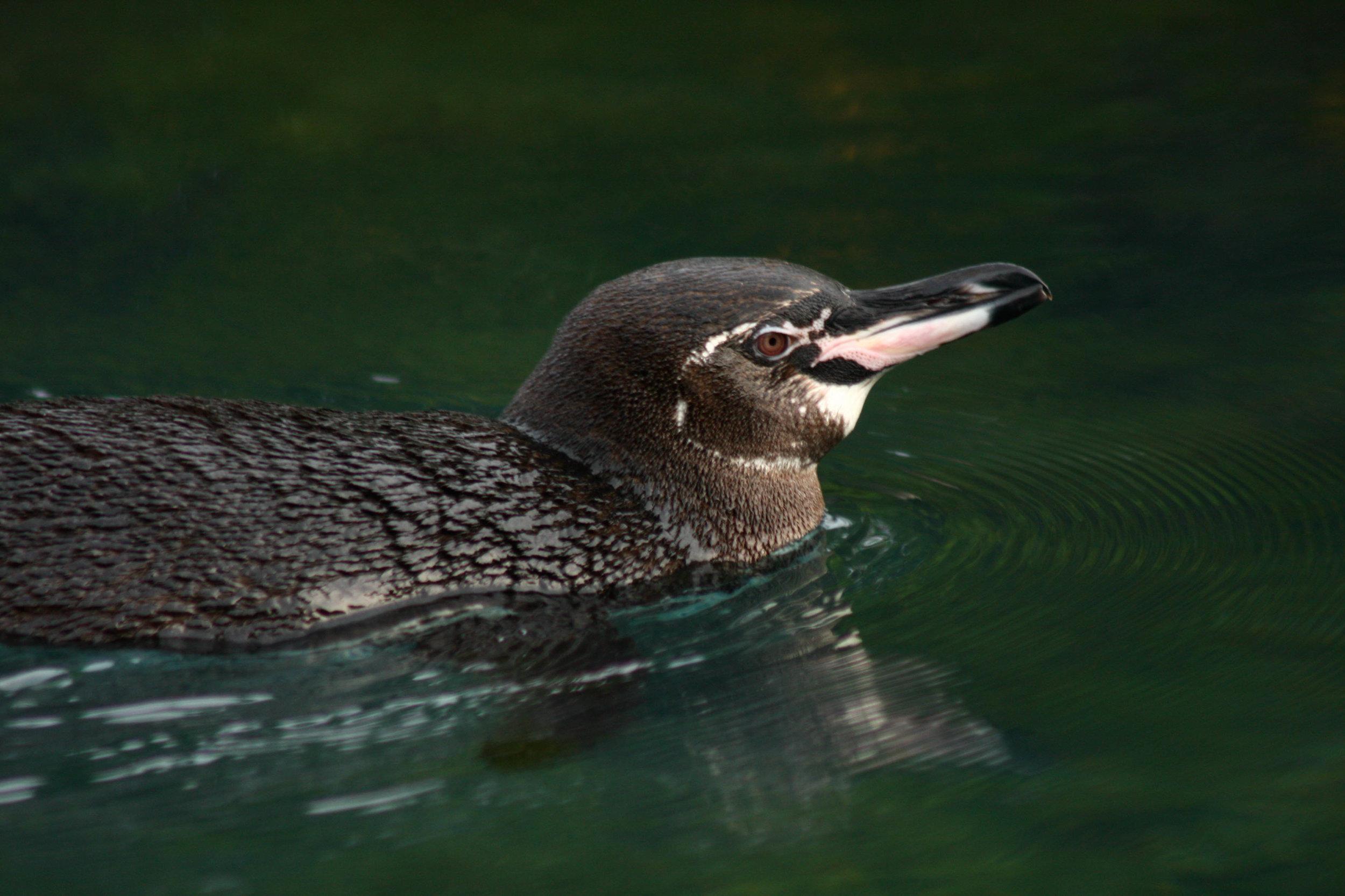 Galápagos Penguin (endemic)