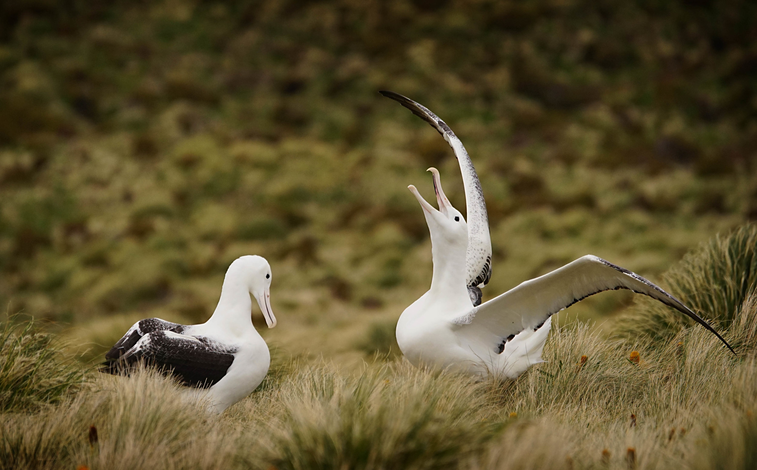 courting Southern Royal Albatross
