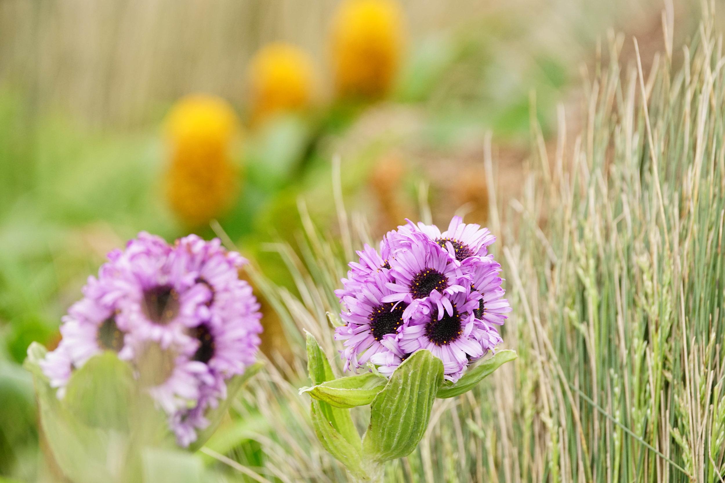 megaherbs are often in peak bloom in early January