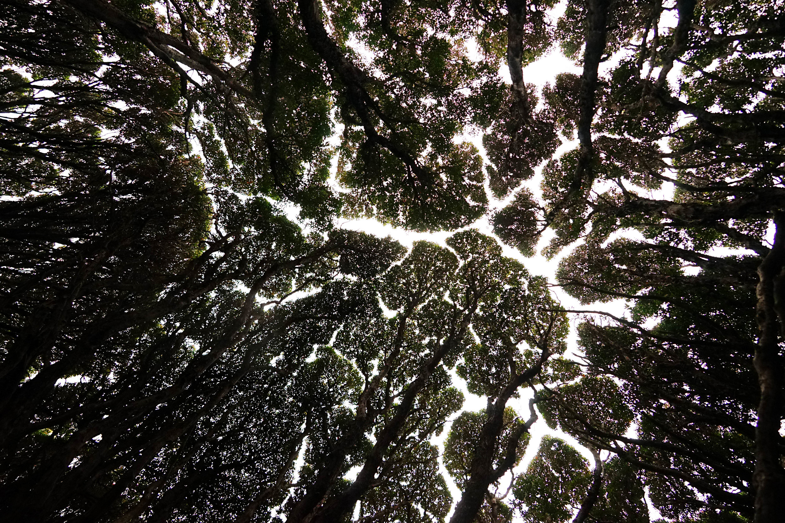 looking up at the Rata forest canopy, where the windswept trees appear to sway together but never touch...