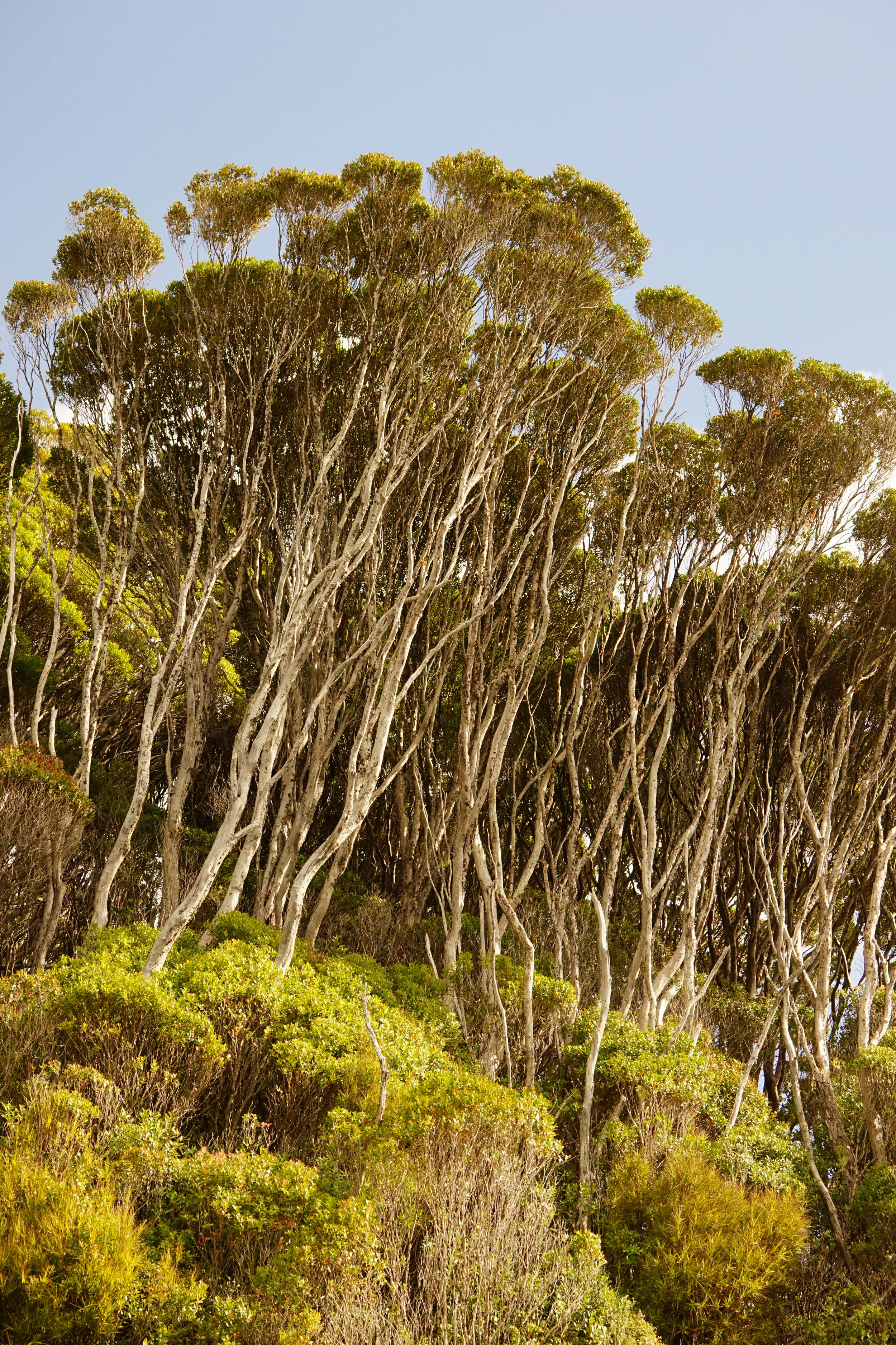 towering Rata forest