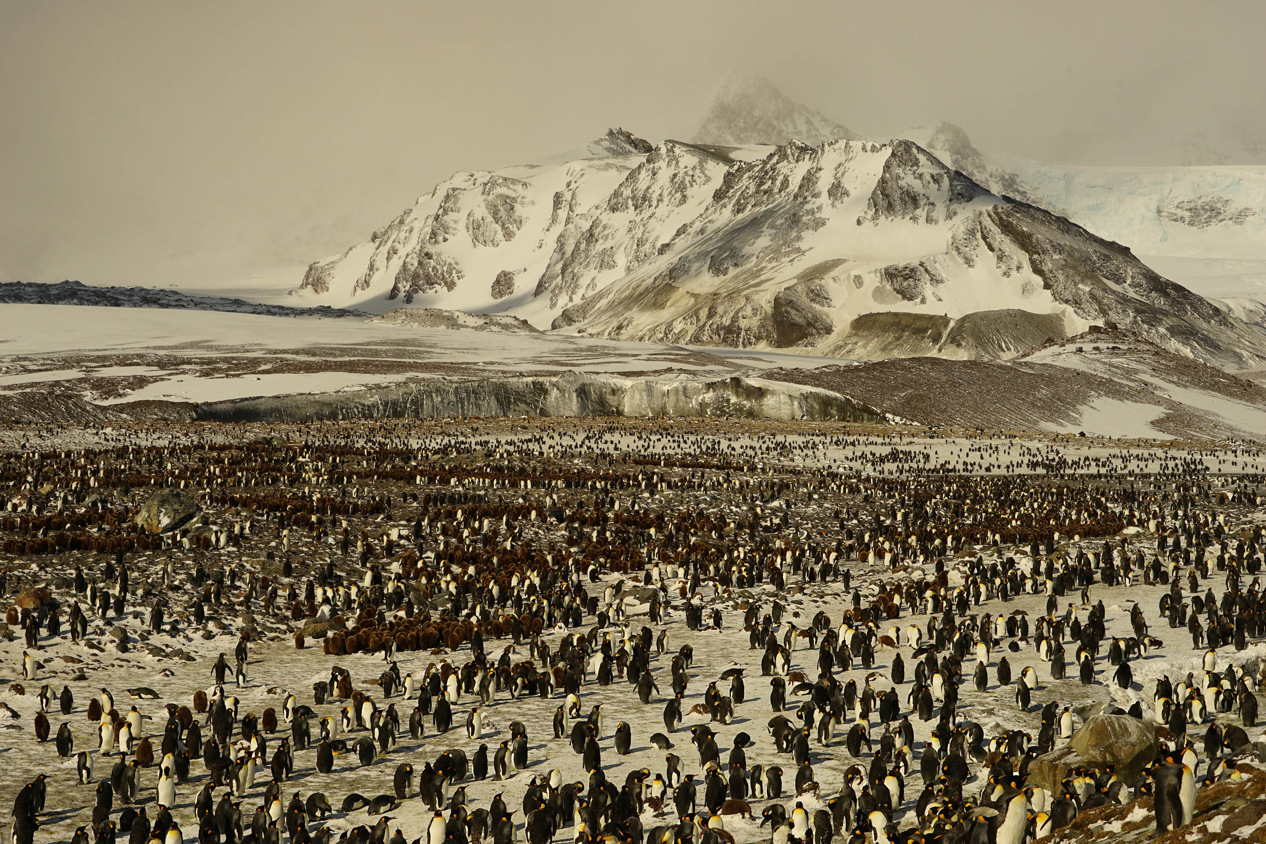 St. Andrew's Bay is home to as many as 200,000 breeding pairs of King Penguins.