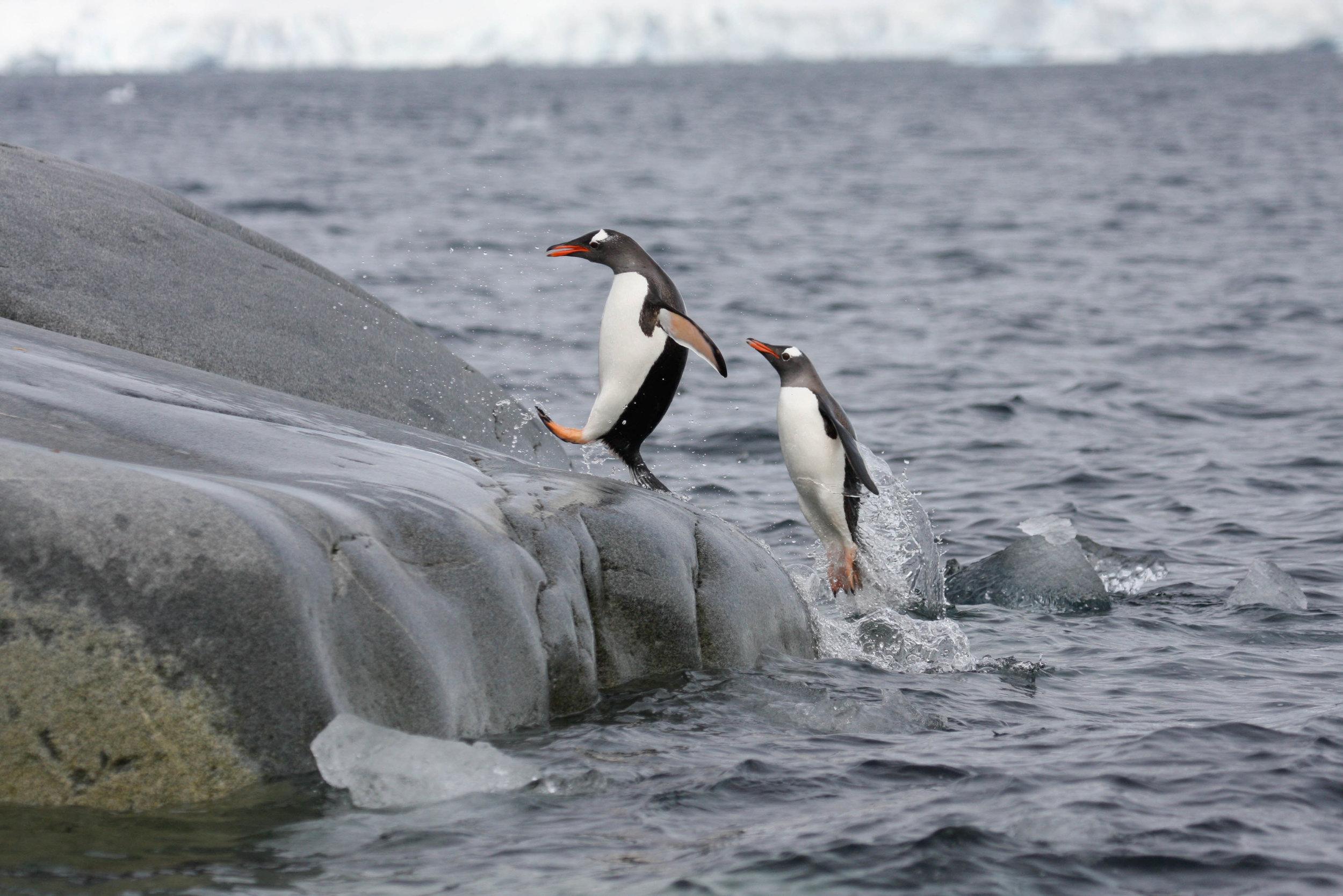Gentoo penguins return from feeding - South Shetland Islands