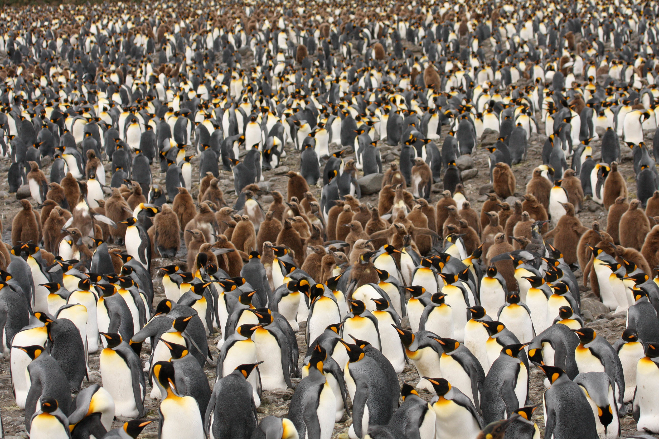 several King Penguins with their fluffy brown chicks, South Georgia
