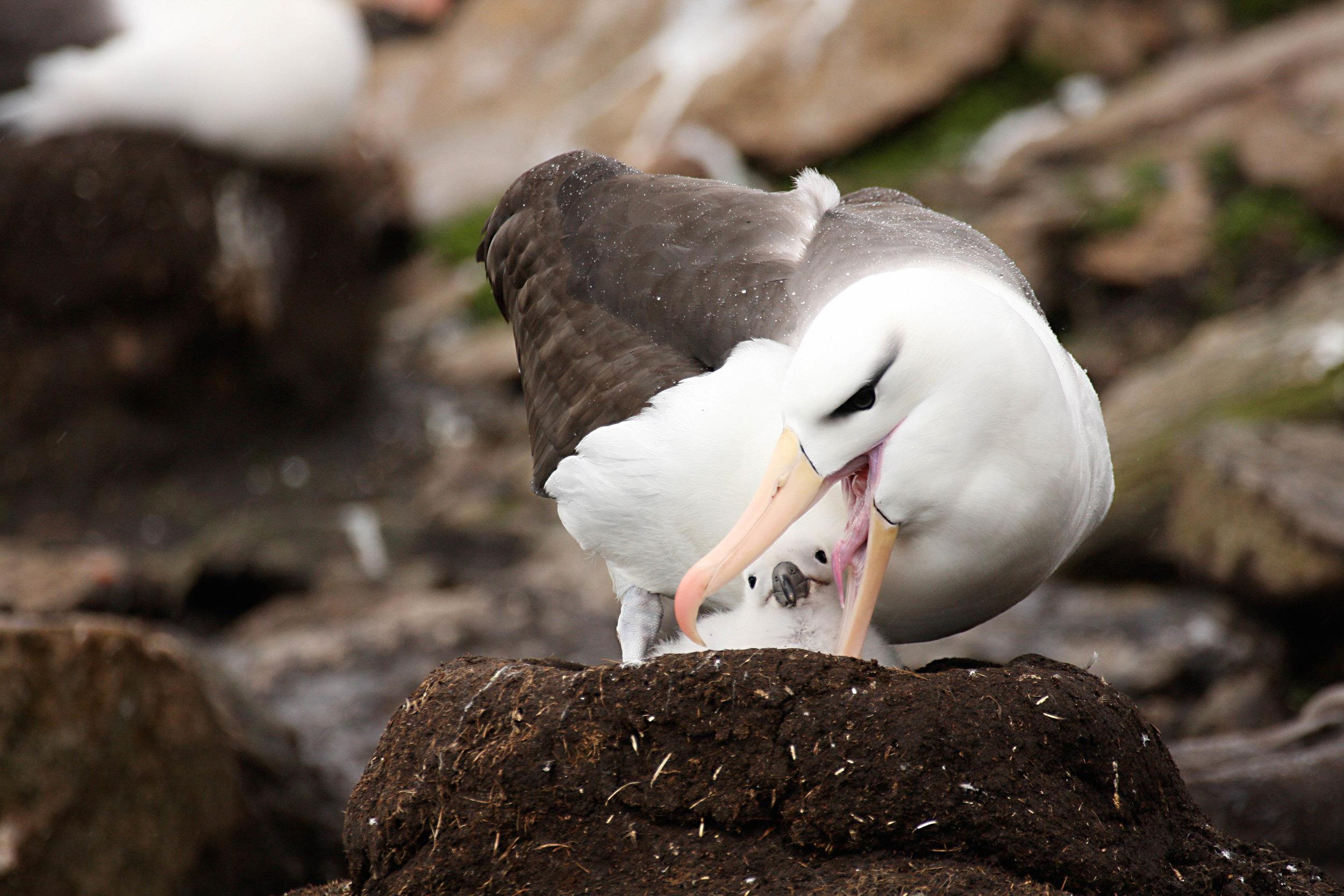 Black-browed Albatross; Falkland Islands